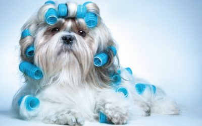 dog in curlers grooming