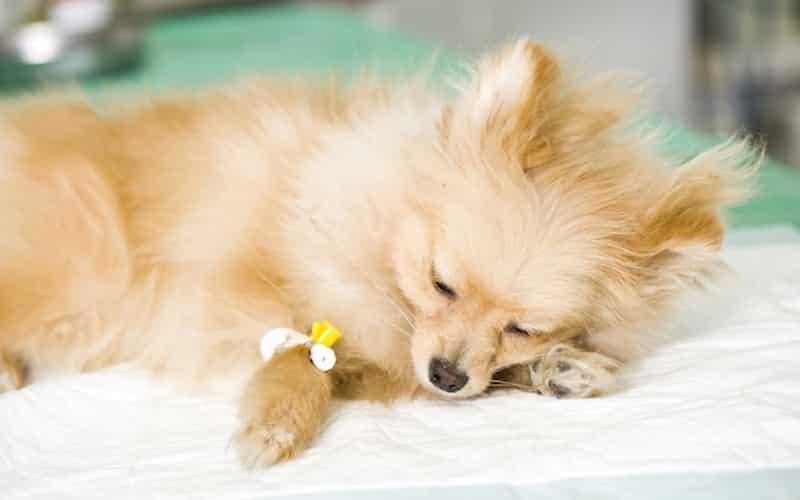 dog under anesthesia