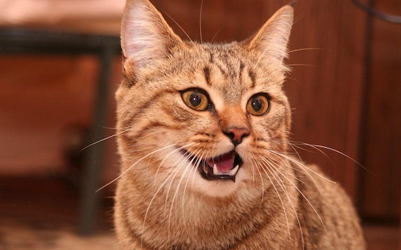cat dentistry