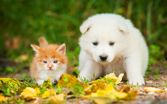 playful puppy and kitten in leaves